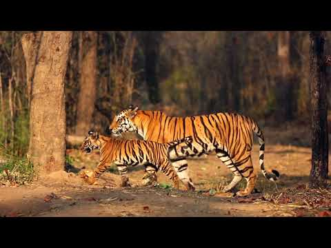 Global Tiger Day
