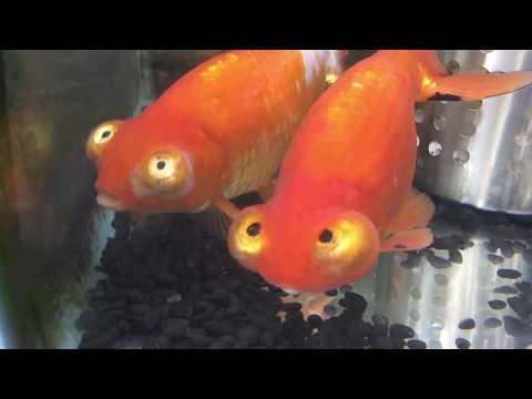 特大 頂天眼 金魚