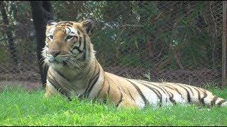 Biggest Tiger Breed In The World !