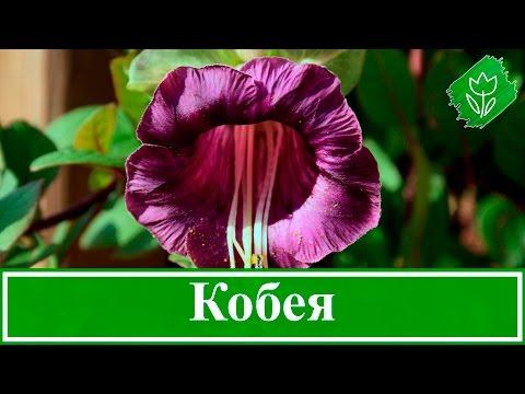 Цветок кобея – выращивание из семян, посадка и уход за кобеей в саду
