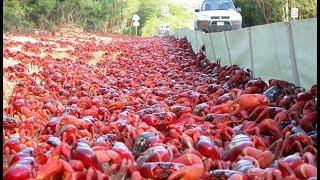 La fantastique migration des crabes rouges