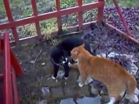 Hai chú mèo đánh nhau chất lừ,như phim hành động hồng kong