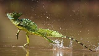 Correr sobre el agua -Lagarto basilisco | Kholo.pk