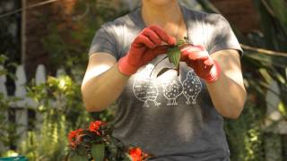 How to Take Cuttings From New Guinea Impatiens : Garden Space