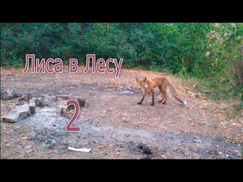 Лиса в лесу 2 - Харьков - Троянда - Саржин Яр - Ботаника (видео)