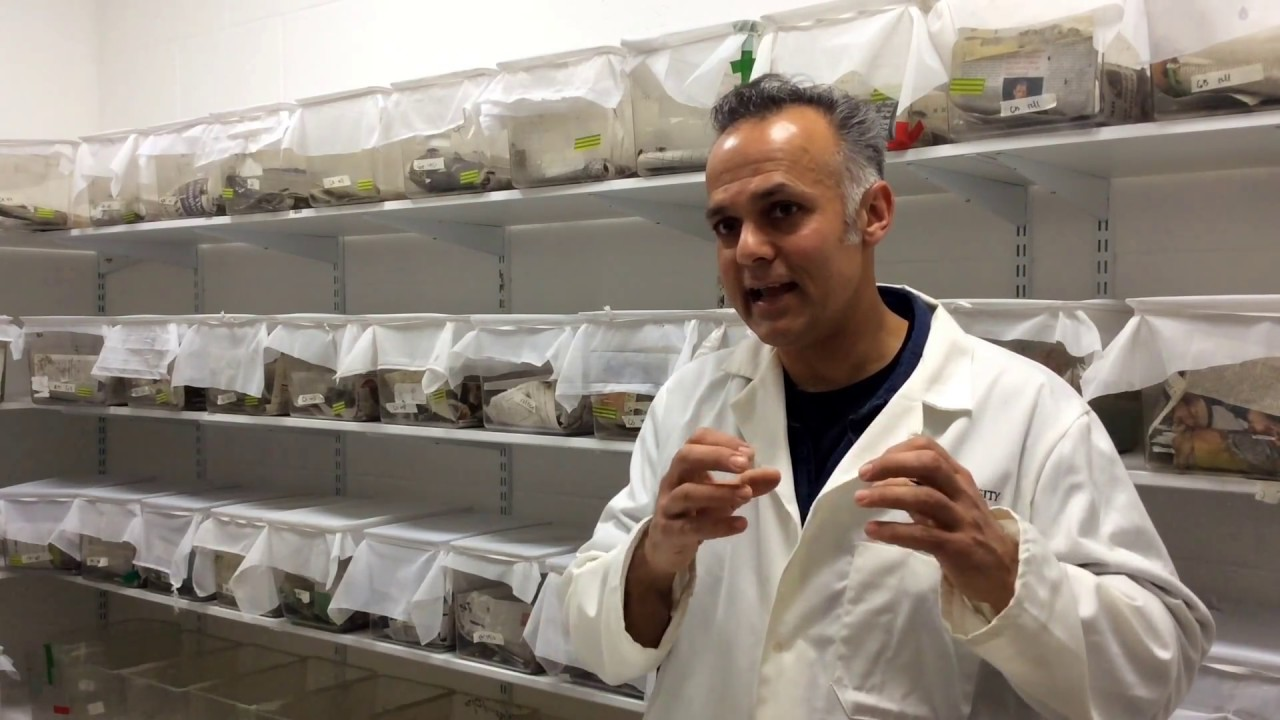 Dr Karim Vahed talks about research into the sex lives of dark bush-crickets