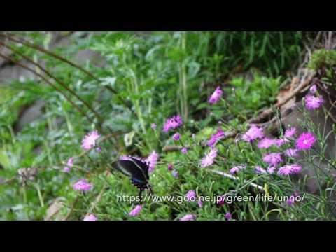 ミヤマカラスアゲハ春型♀の飛翔  Papilio maackii