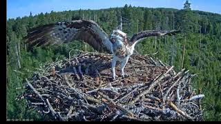 Osprey Irma drive out a young eagle