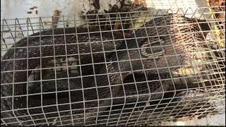 Bẫy Rắn dính trúng rắn hổ đất (hổ mang) cực độc nhưng cực đã . Săn bắt giải trí LTX