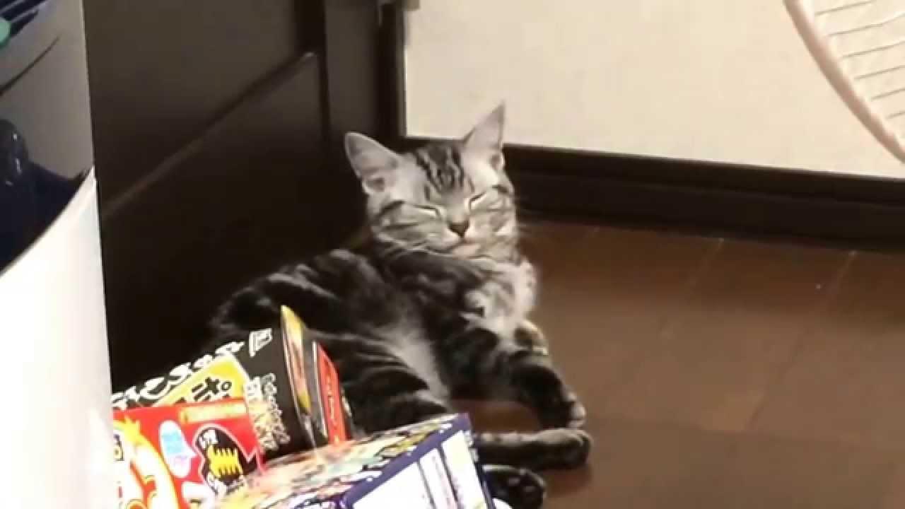 cat アメリカンショートヘア 睡眠タイムに突入?寝顔が可愛い。