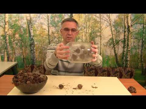 Как вырастить лиственницу. Получение семян. Часть 2.