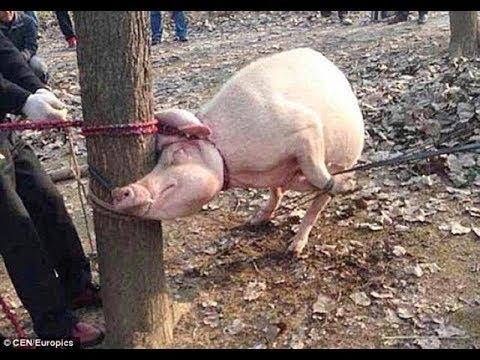 Este Cerdo Devoró Un Niño De 2 Años, Mira Lo Que Hicieron Para Demostrarlo A Las Autoridades