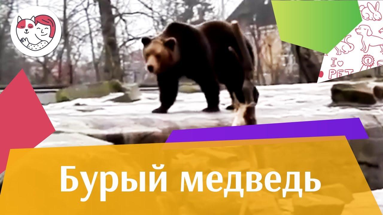 Бурый медведь Весенний гон на ilikepet