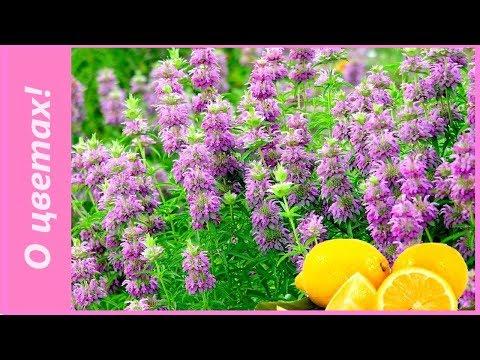 Чай с бергамотом или в саду монарда лимонная? Посев семян монарды на рассаду.