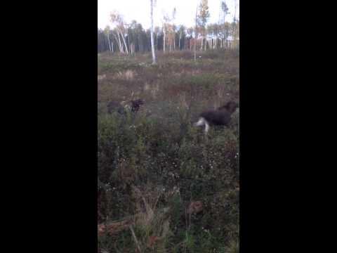 02.10.2014 Izbrīnītie alņi