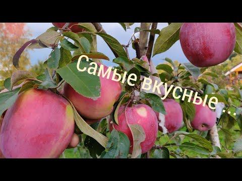Обзор сортов яблони для Средней полосы России, 2 я часть.