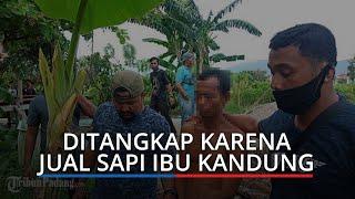 Jual Sapi Tanpa Sepengetahuan Ibu Kandung, Pria di Padang Ditangkap Polisi