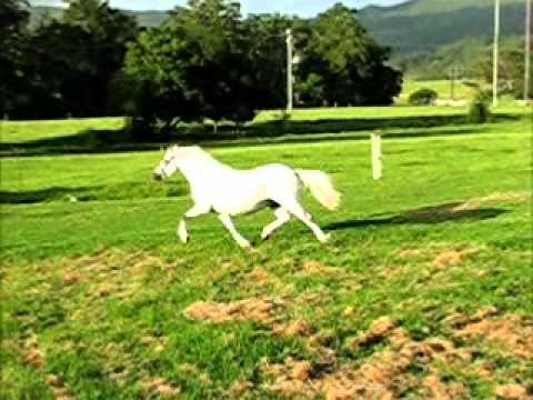 Bellingara Serena - Welsh Mountain Pony Filly