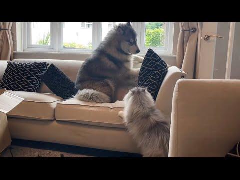 Giant Sulking Dog Scared Of Boss Cat!!