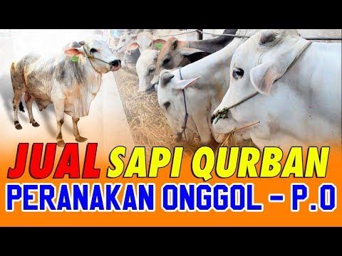 Jual Sapi Qurban Jakarta Jenis Sapi PO 2018