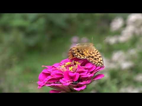 庭の蝶の飛翔9月8日