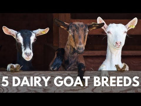 , title : '5 Breeds of Dairy Goats for your Homestead