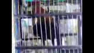 preview picture of video 'Ayam Ketawa Dangdut Asli'