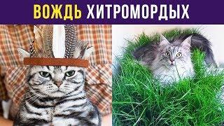 Приколы с котами. Вождь Хитромордых | Мемозг #69