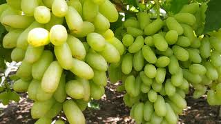 Grapes Fruits Garden Amazing Agriculture