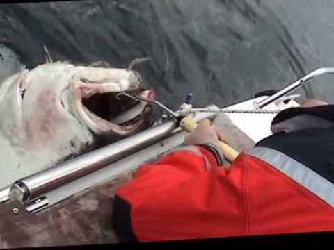 Torsvag Havfiske 2011 Gigant Halibut 148.5 kg.