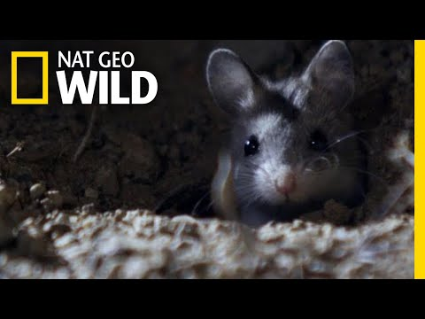 The grasshopper mouse hunts prey and howls like a wolf