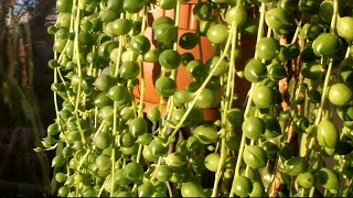 How to care for a String of Pearls plant ( Senecio rowleyanus )
