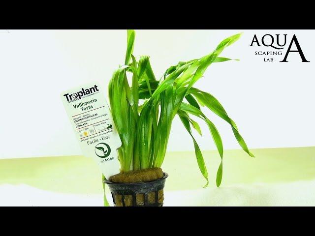 Aquascaping Lab - VALLISNERIA Aquatic Plant technical description and management (all varieties)