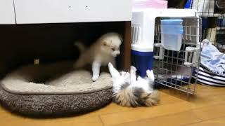子猫、白柴子犬にやりたい放題