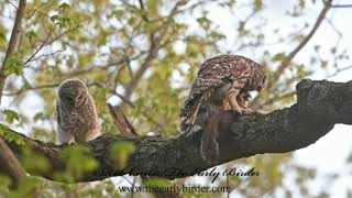 BARRED OWL  Strix varia  chick fed squirrel 3018855