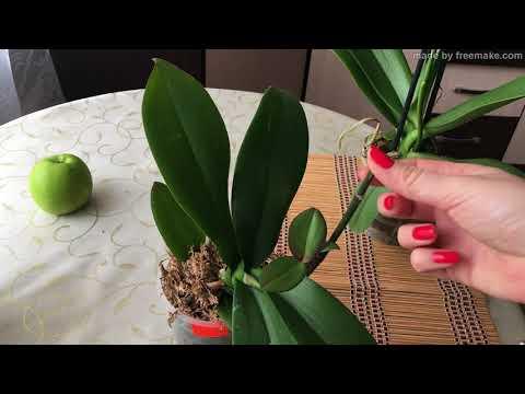 как получить детку орхидеи с помощью цитокининовой пасты.how to get baby orchids