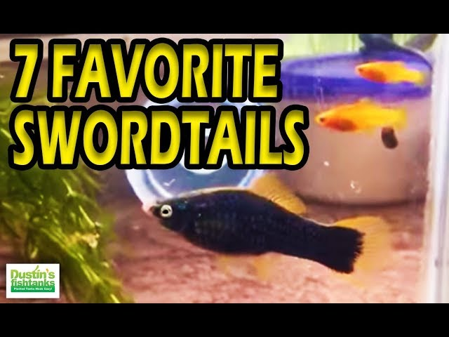 My FAVORITE AQUARIUM FISH, 7 TYPES of Platies Swordtail Fish. Loving my Livebearers