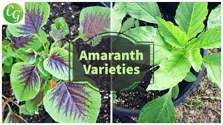 Growing Amaranth Greens - A Nutrition Powerhouse