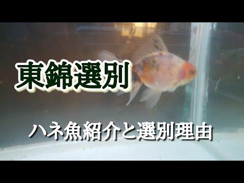 【金魚】当歳東錦の選別とハネた理由
