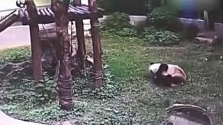 人間を捕まえて離さないパンダ