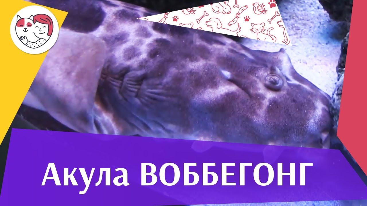 АКУЛА ВОББЕГОНГ АкваЛого на ilikePet
