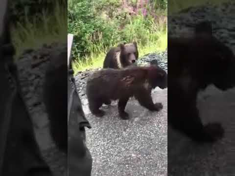 Russian petting a bear cub ends in exactly how you'd image petting a bear cub would end like