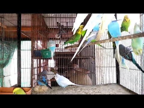 king Budgies Breeding Progress | Breeding Season | Urdu