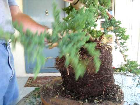 Video: cắt tỉa cây tùng, bách xù P2