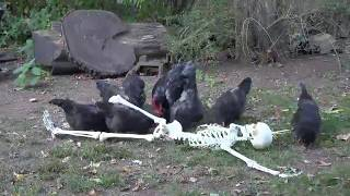 Pit Chickens Live
