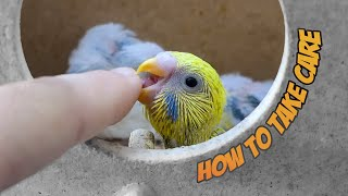How to take care of Baby Budgies