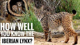 Iberian Lynx || Description, Characteristics and Facts!