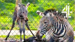 Witnessing The Amazing Birth Of A Baby Zebra | The Secret Life Of The Zoo