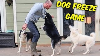Husky Freeze Game - Funny Dogs