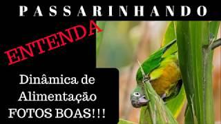 DICAS DE PASSARINHADA- Dinâmica de Alimentação. FOTOS BOAS!